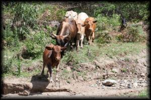 Cattle turned