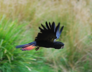 Red_tailed_Black_Cockatoo_in_flight