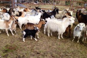 The Feral Goats